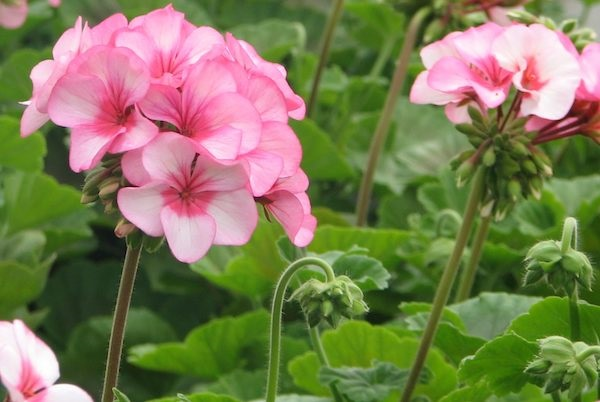 11 Plants that repel Mosquitoes out of your Home 11