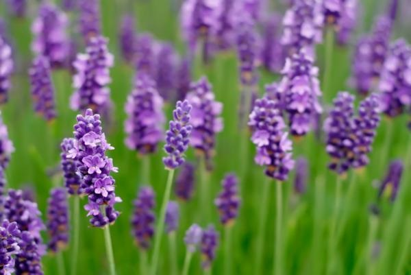 11 Plants that repel Mosquitoes out of your Home 3