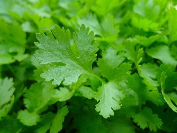 medicinal herbs you can grow at home 11