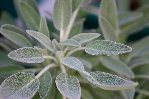 medicinal herbs you can grow at home 12