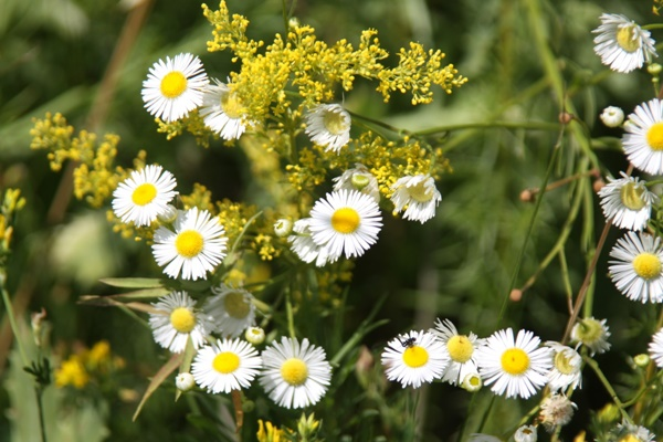 Цветок похожий на ромашку с мелкими цветками