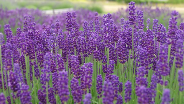 medicinal herbs you can grow at home 7