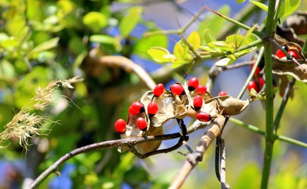 Most Poisonous Plant to Humans 5